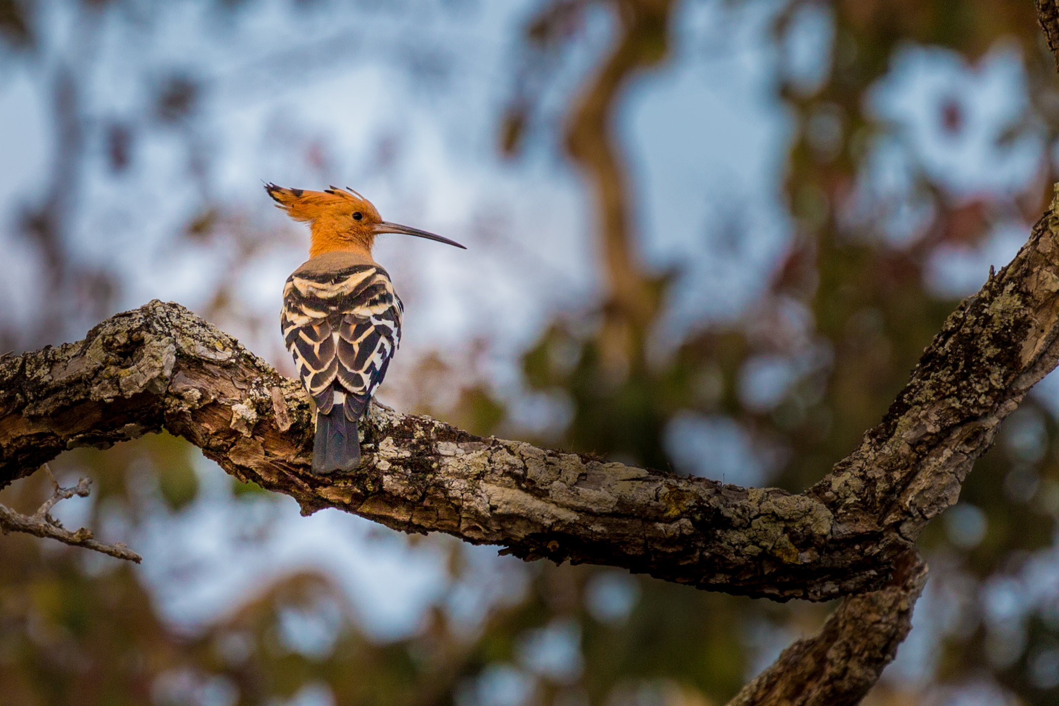 Common Hoopoe (Upopa epops)