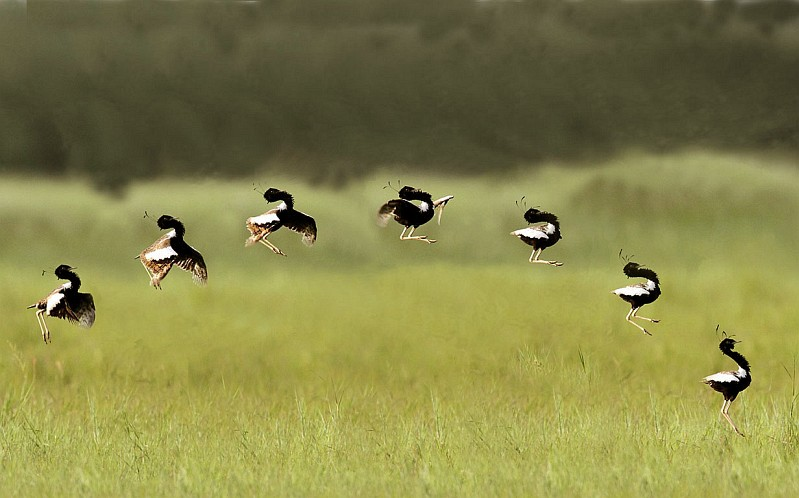 florican_grassland_and_jumping_sequence